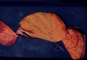 אופציות עלי הבוהיניה מתוך ספריית העלים של שי זכאי בספרה החדש -  תווי יער- הספרייה 1995-2011